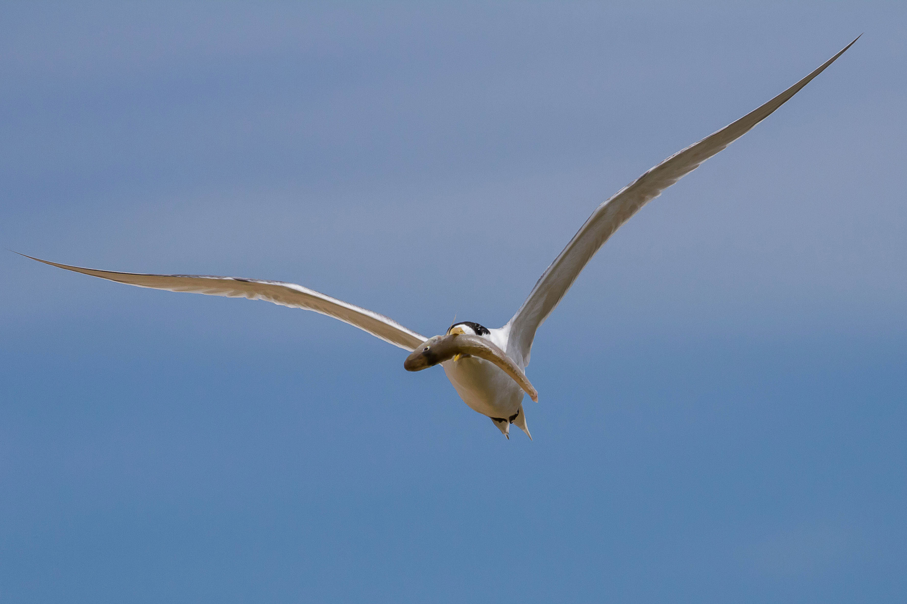 Caspian Tern with Sand Whiting