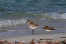 Grey Plover and Ruddy Turnstone