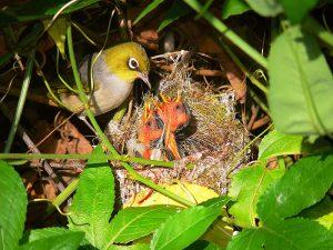 Silvereye, nest feeding chicks