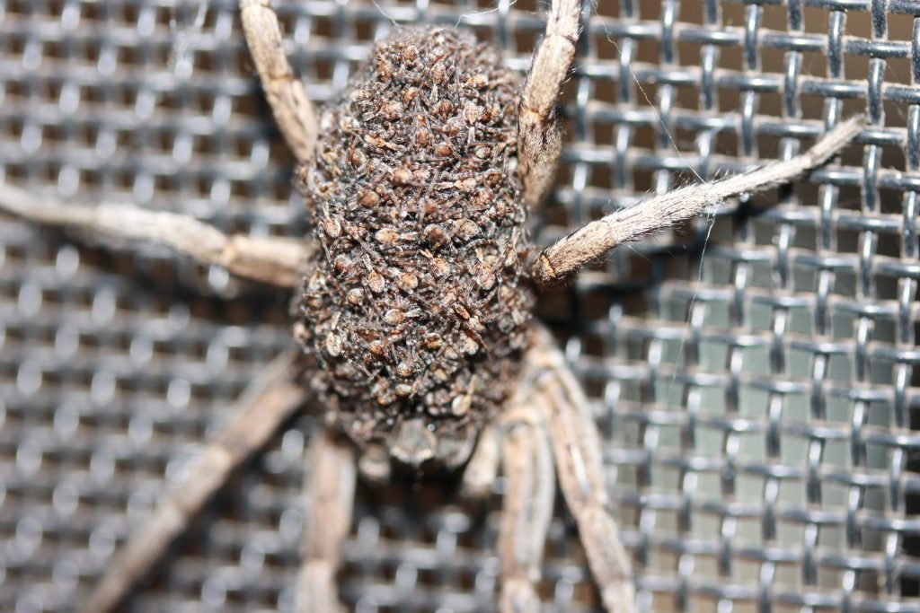 Spiders Of The Perth Hills And Trapdoors Galore With Mick Davis