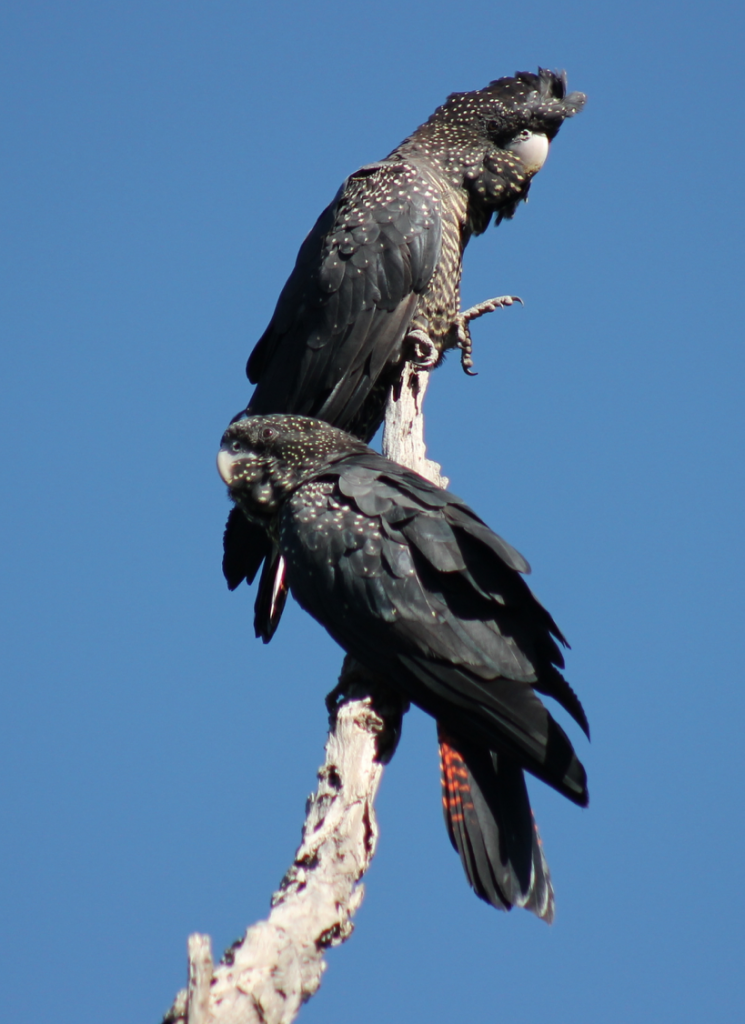 Red-tailed black cockatoos in the Perth Hills by Rachel Green