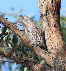 Tawny Frogmouth at Toodyay by Rachel Green