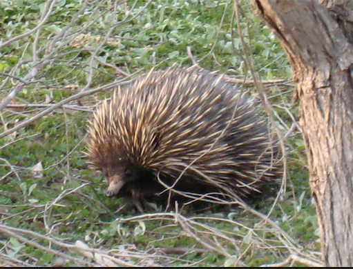 Echidna in the Perth Hills by Rachel Green