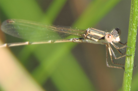 Lestidae, Austrolestes analia, by Tony Start.png