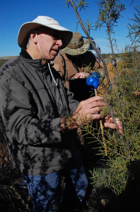 Byron Lamont using dummy cockatoo head to study the effect of spiny hakea leaves on it reaching the woody fruits.jpg