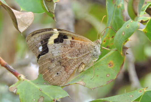 Common Brown Butterfly (Heteronympha merope) by Tony Start.png