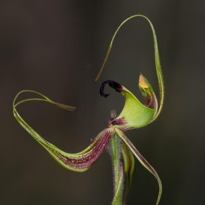 Smooth Lipped Spider Orchid - Caladenia integra