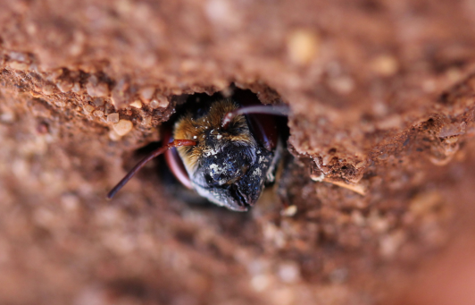Orange browed resin bee (Megachile aurifons) taking over a mud wasps nest photo Rachel Green.png