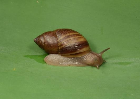 B.indutus