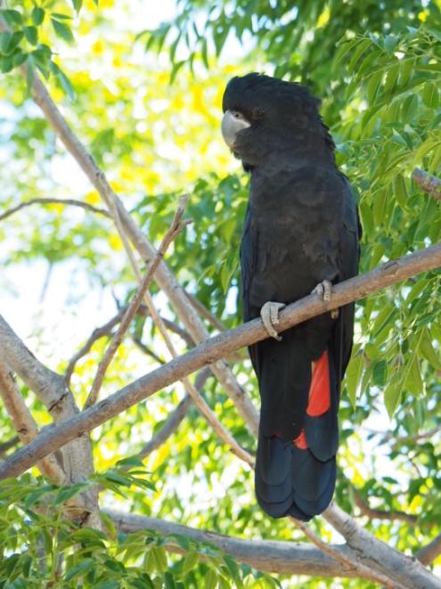 Male Forest Red-tailed Black Cockatoo