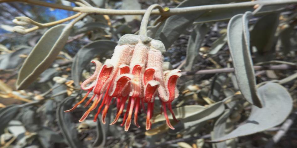 Amyema nestor, Charles Darwin Reserve, Edna Spring, ANS 2268 (5).JPG