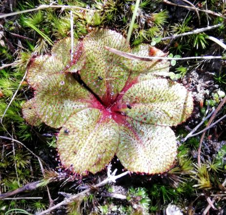 Drosera rosulata.jpg