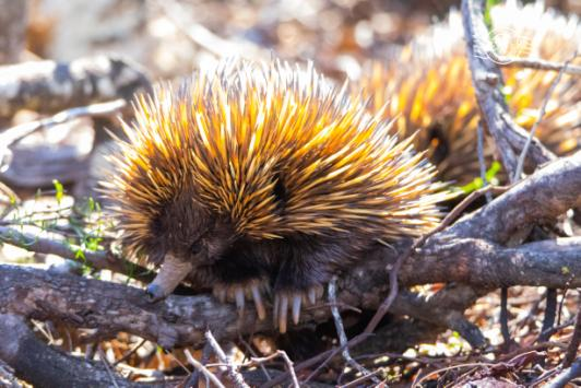 echidna showing claws.jpg