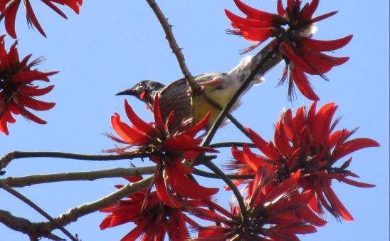 red Wattle Bird Melville.png
