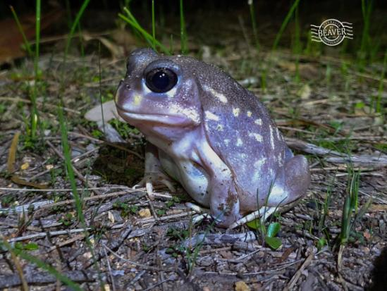 spotted frog.jpg