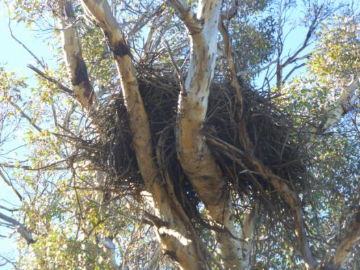 wedgetail nest closeup.JPG