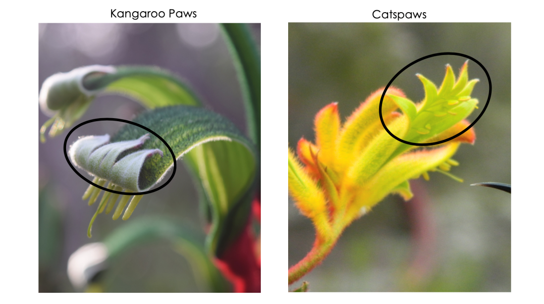 Difference between a Kangaroo Paw and a Cats Paw by Bronwyn Ayre.png
