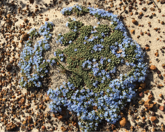 Cushion Leschenaultia (Lechenaultia pulvinaris) by Arlene Quinn.png