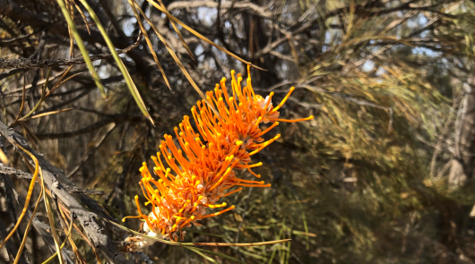 Flame Grevillea (Grevillea excelsior .png