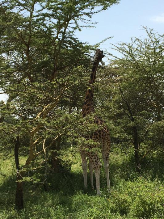Giraffe in Vachellia.JPG