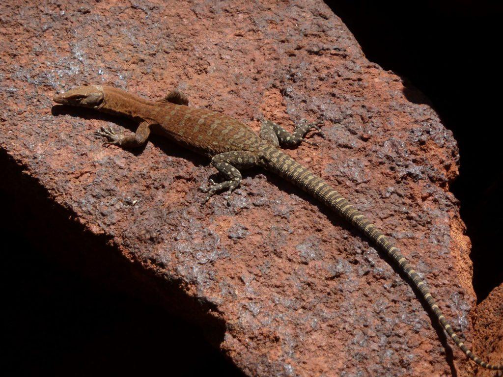 A lizard on a rock  Description automatically generated