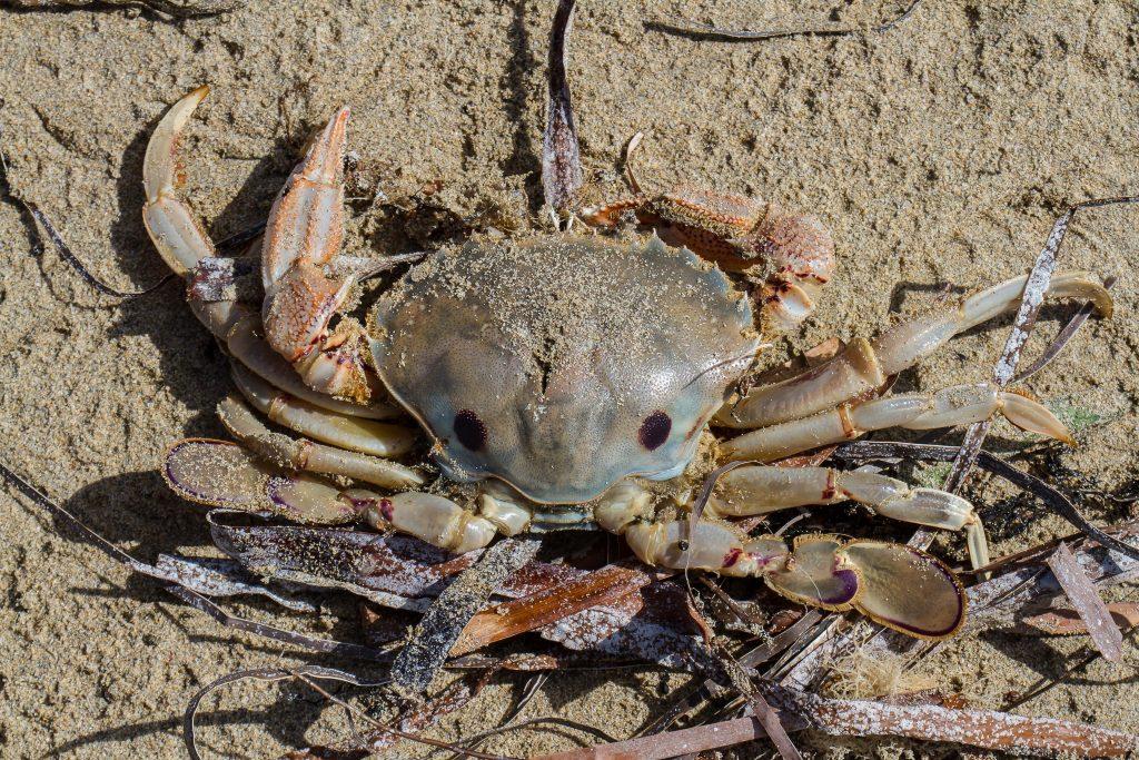 common sand crab