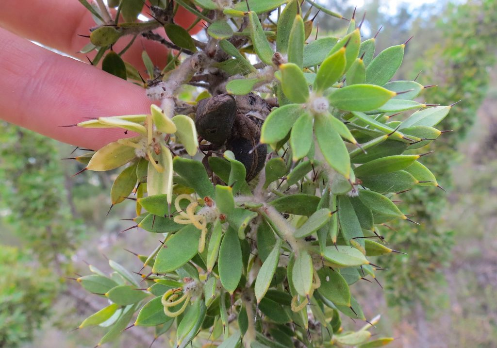 Hakea ruscifolia