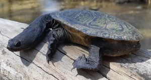 A South West Snake-necked Turtle