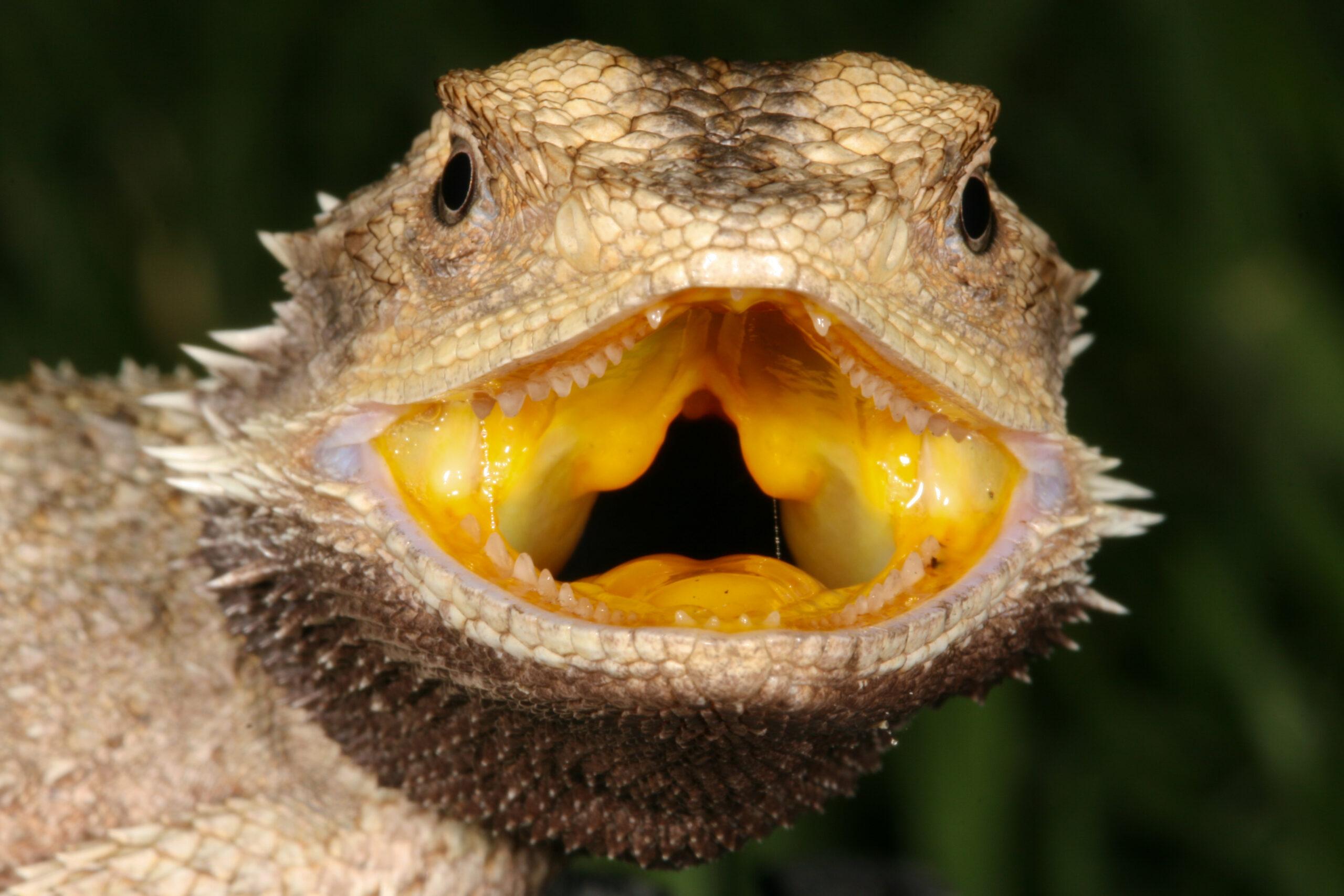 Western Bearded Dragon, Pogona minor