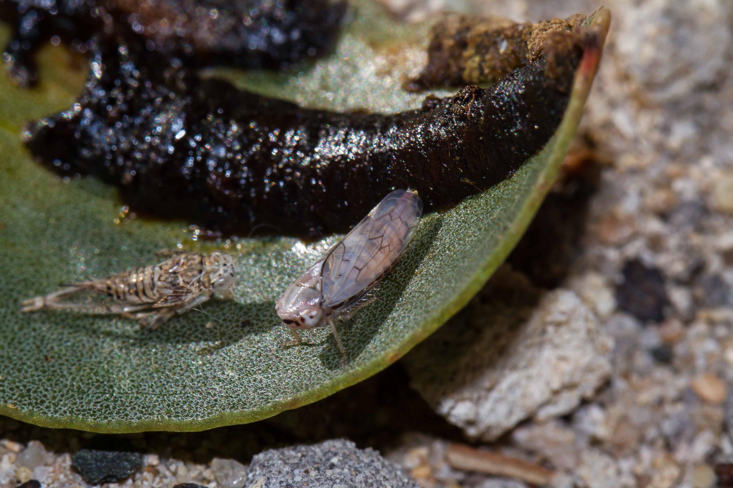 leaf hopper and tube of a Tube Spittlebug